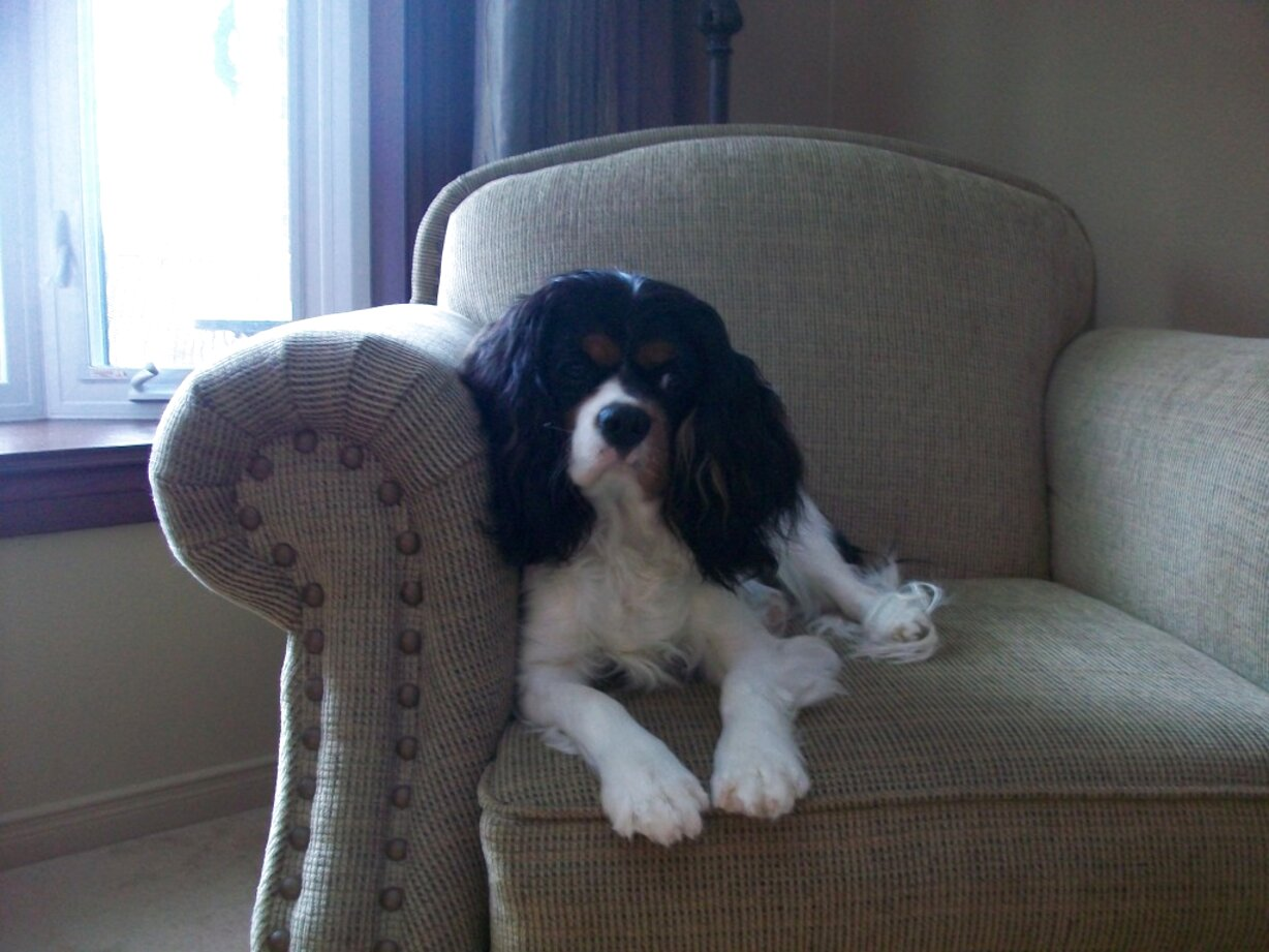 charles cavalier for sale
