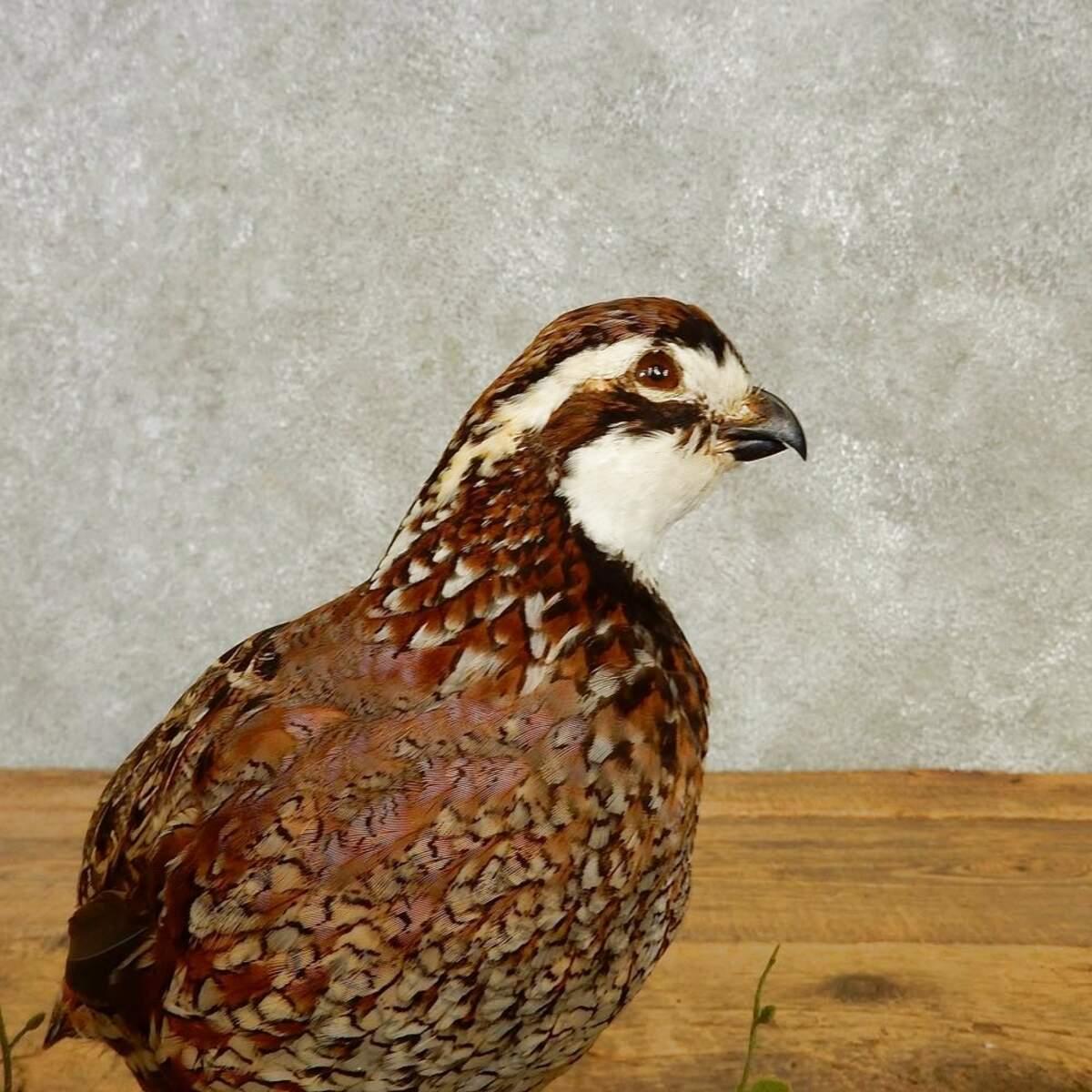 taxidermy bird mounts for sale