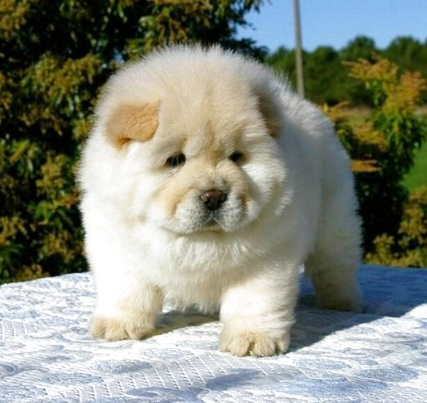 chow chow dog puppy for sale