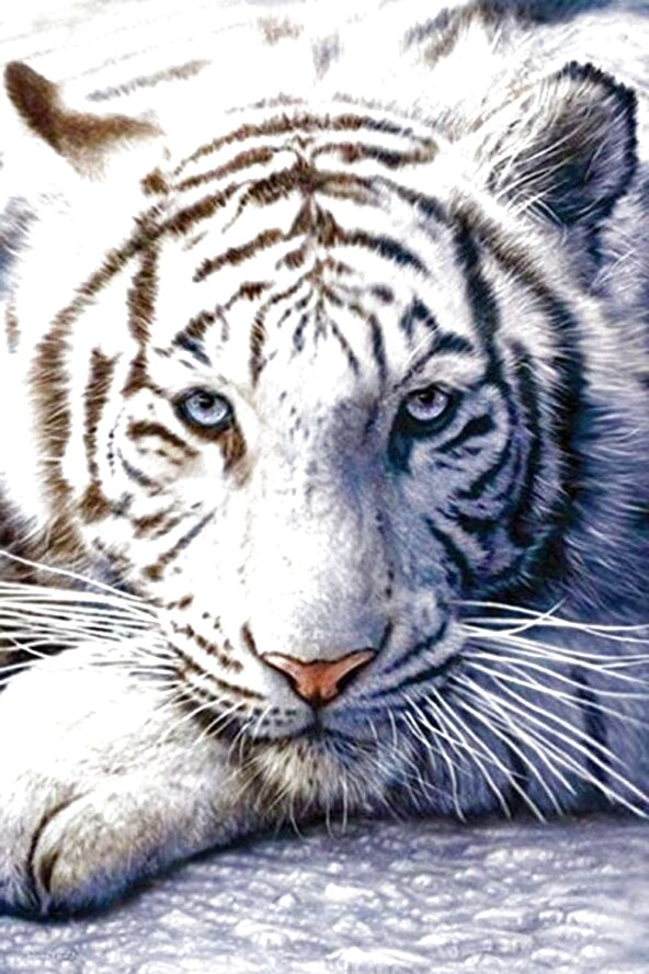 white tiger for sale