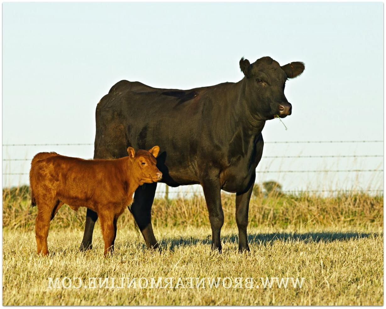cow calf pairs for sale