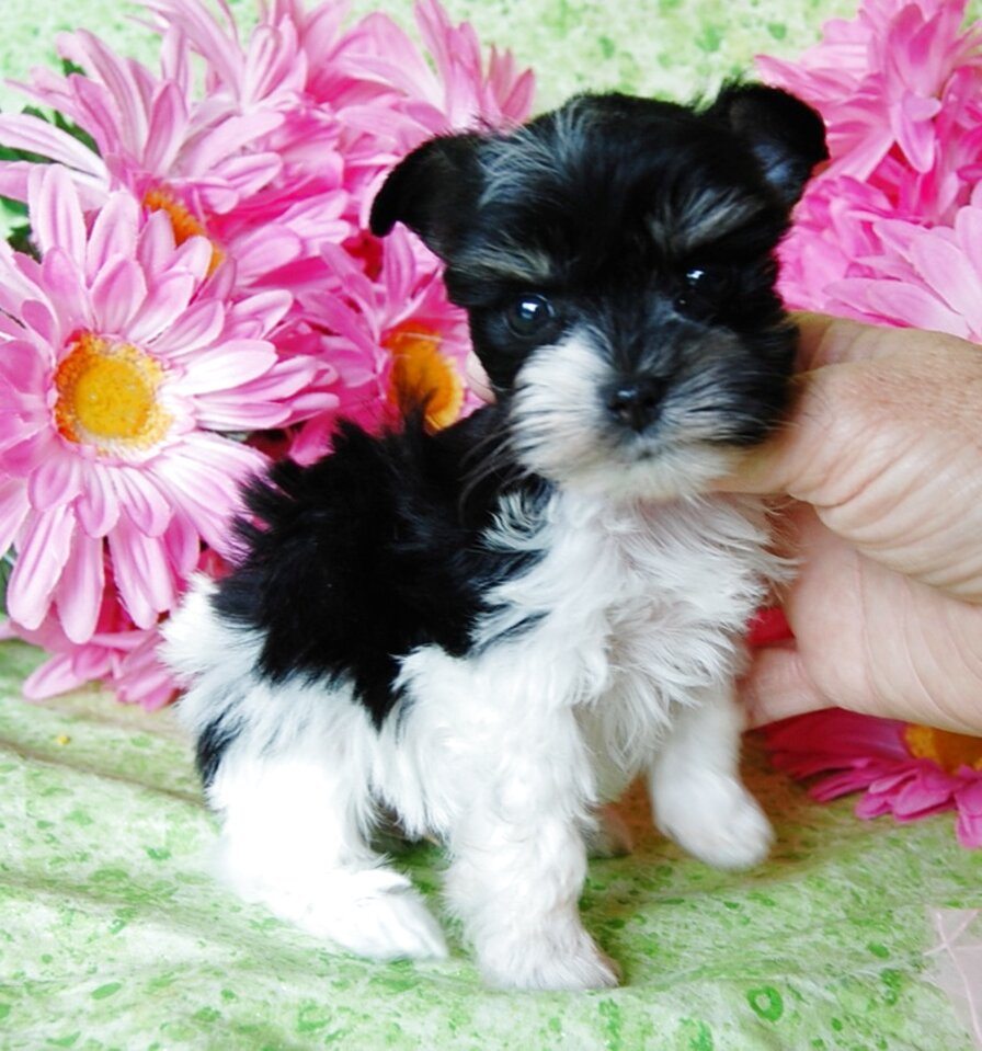 toy schnauzer puppies for sale