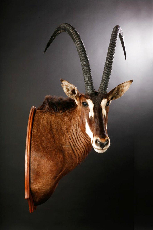 trophy deer mounts for sale