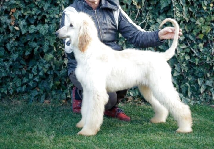 afghan hound puppies for sale
