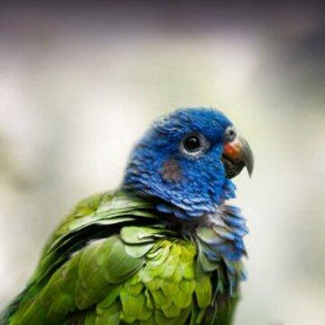 pionus parrot for sale