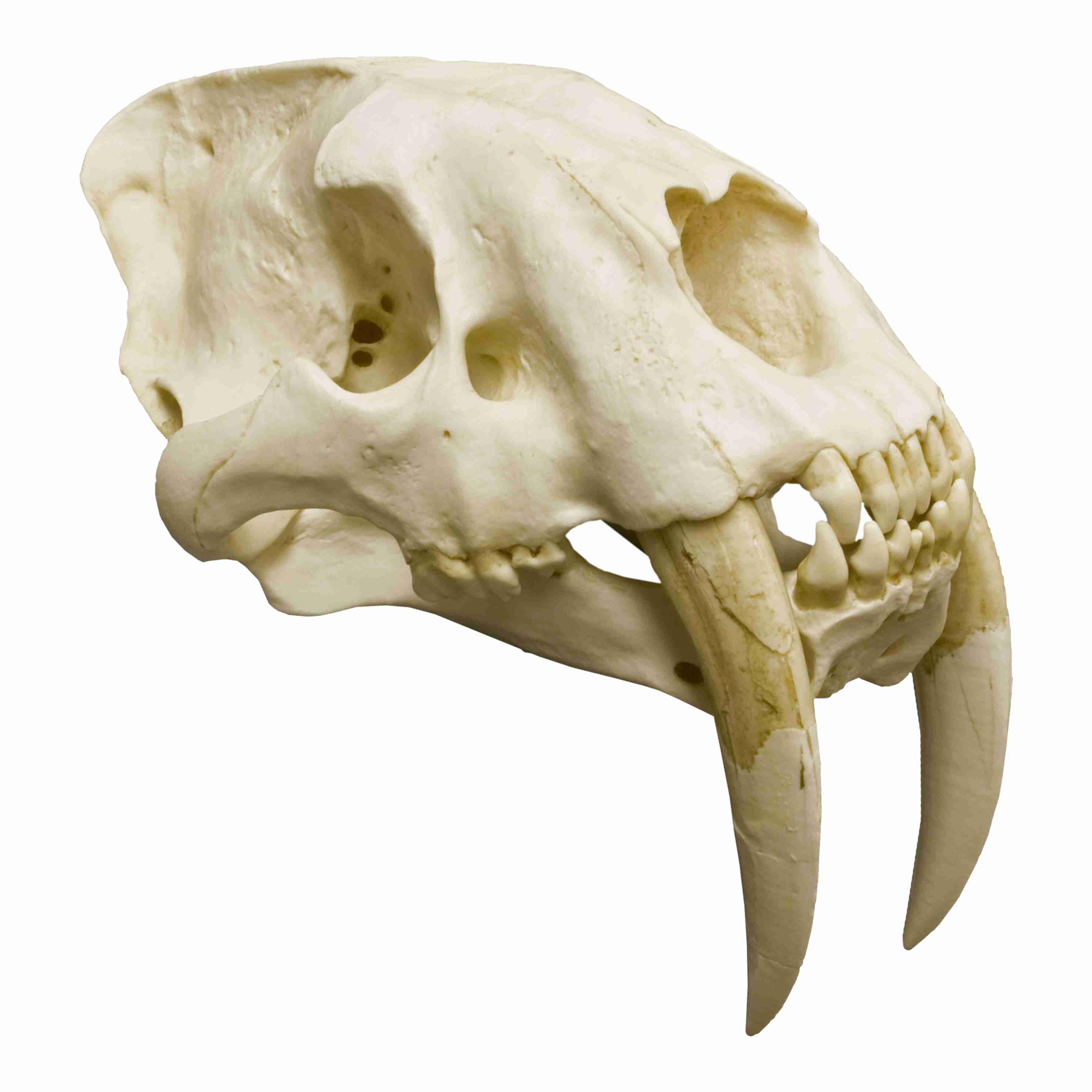 saber tooth tiger skull for sale