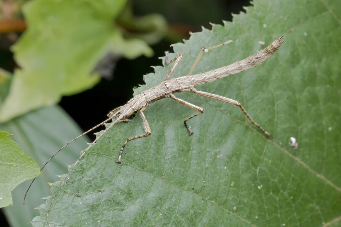 stick insects for sale