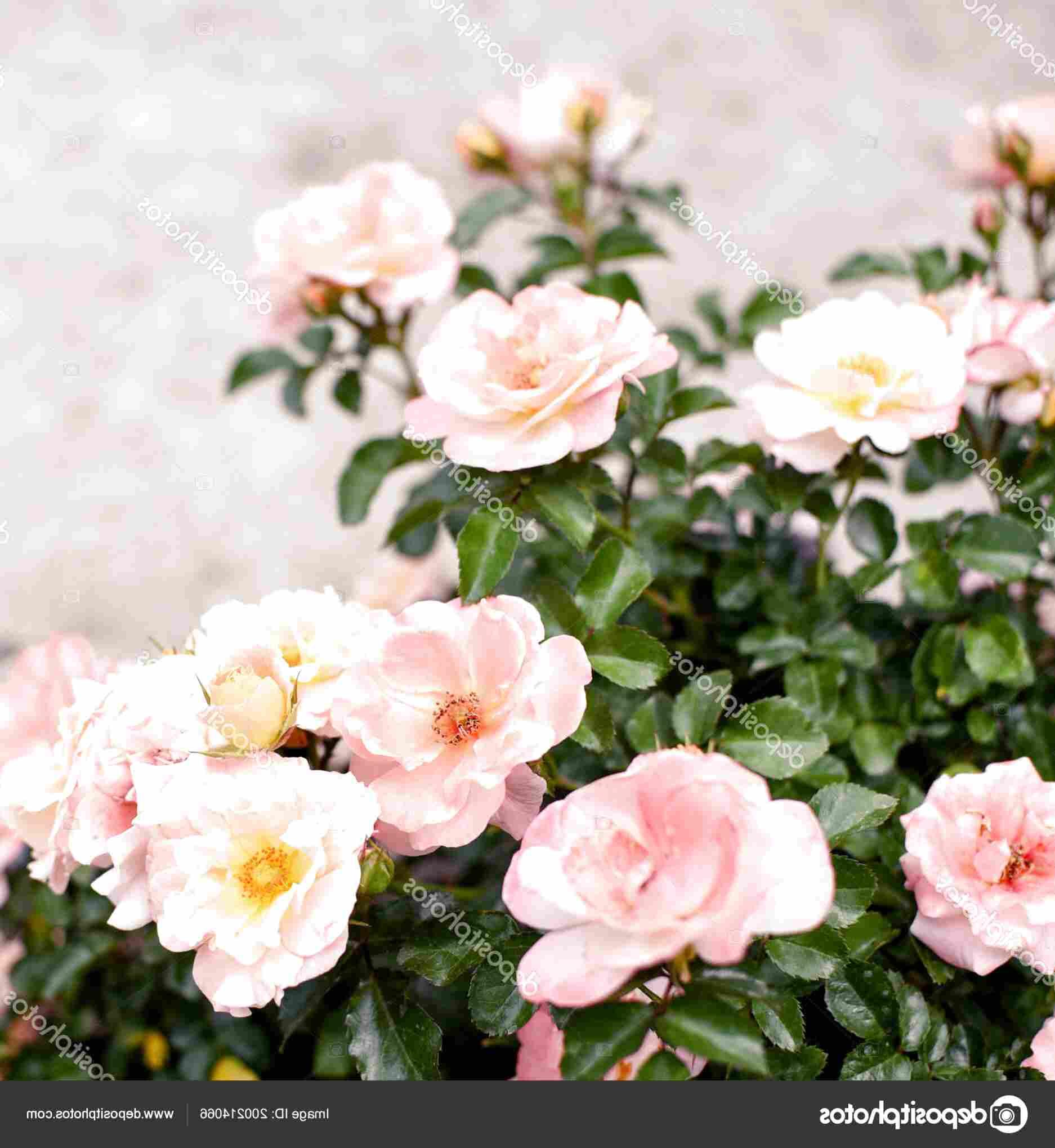 dwarf roses for sale