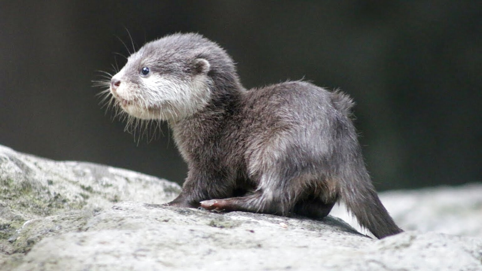 baby otters for sale