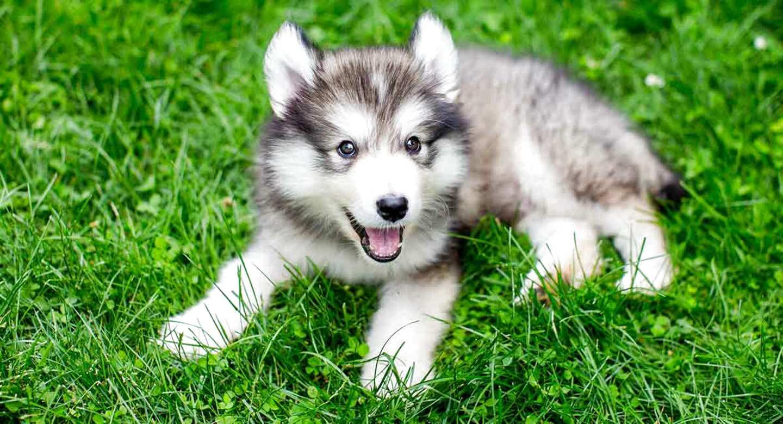 mini husky dog for sale